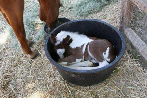foal in a bucket