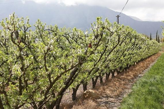 Blooming_vitis_vinifera