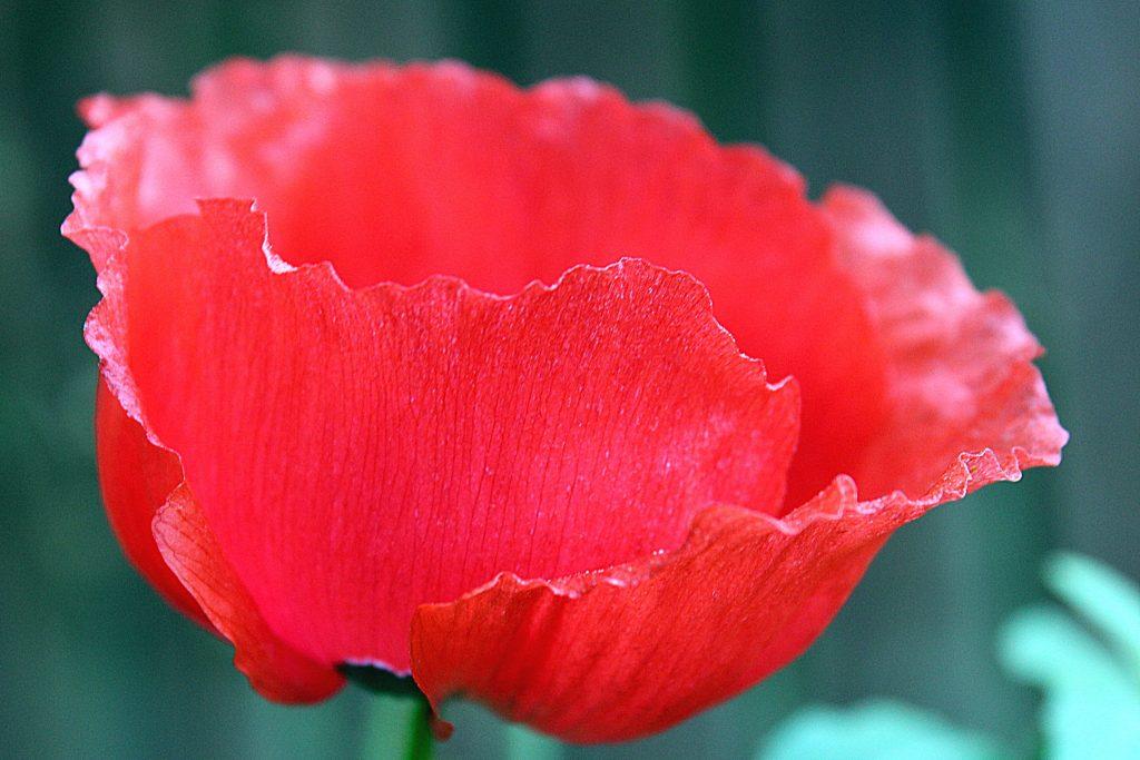 Poppy edited 2