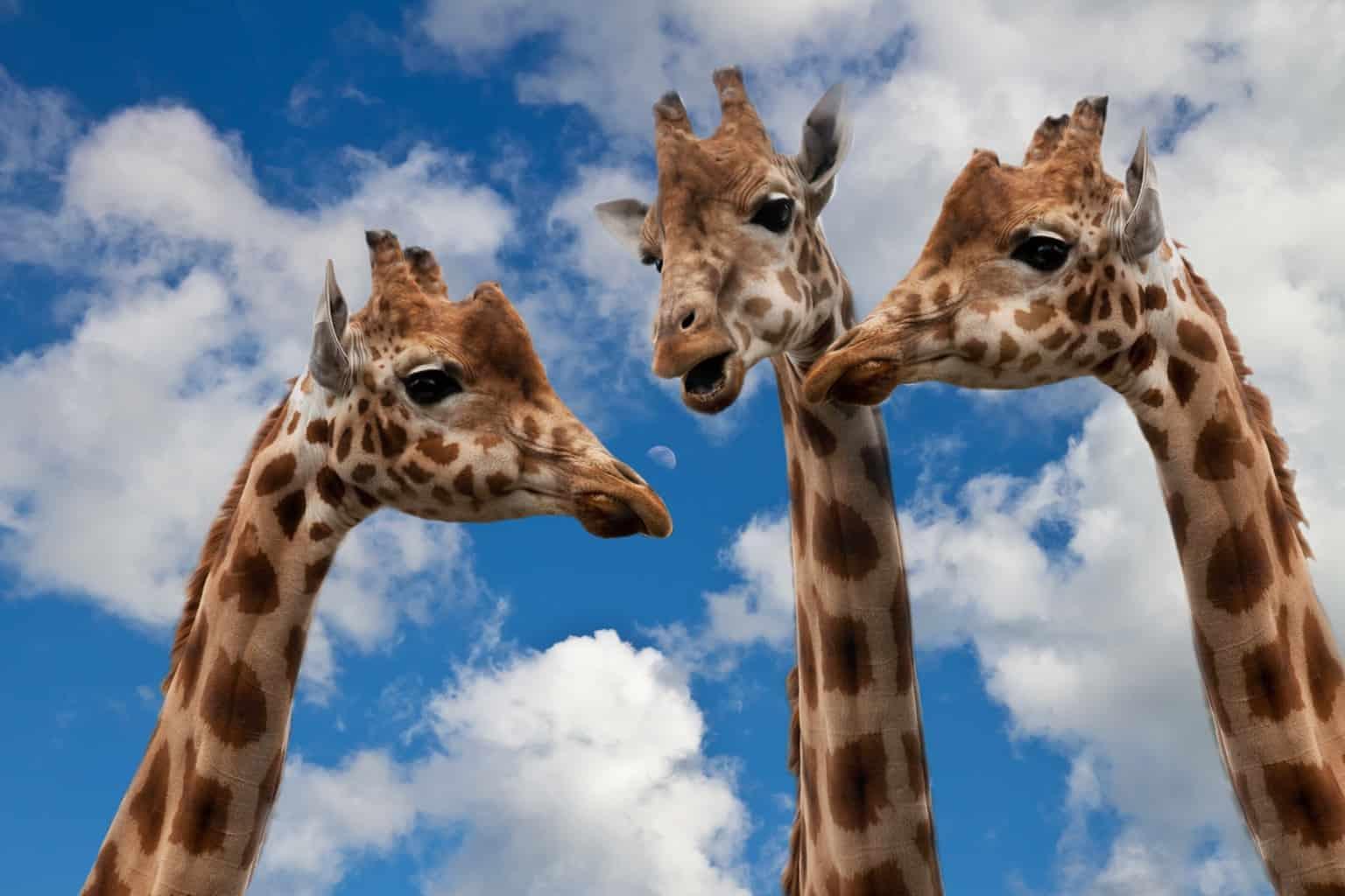 giraffes, entertainment, discussion