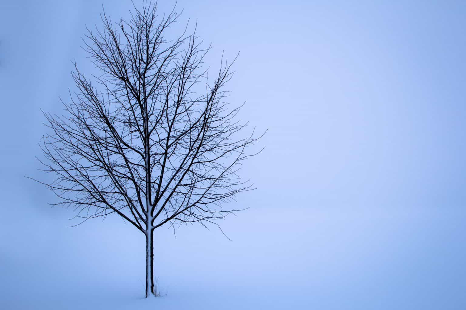 tree, snow, winter