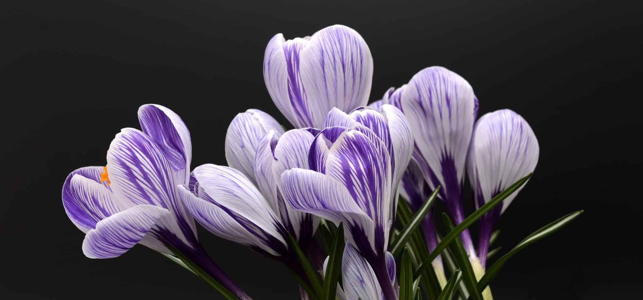 crocus, flowers, purple flowers